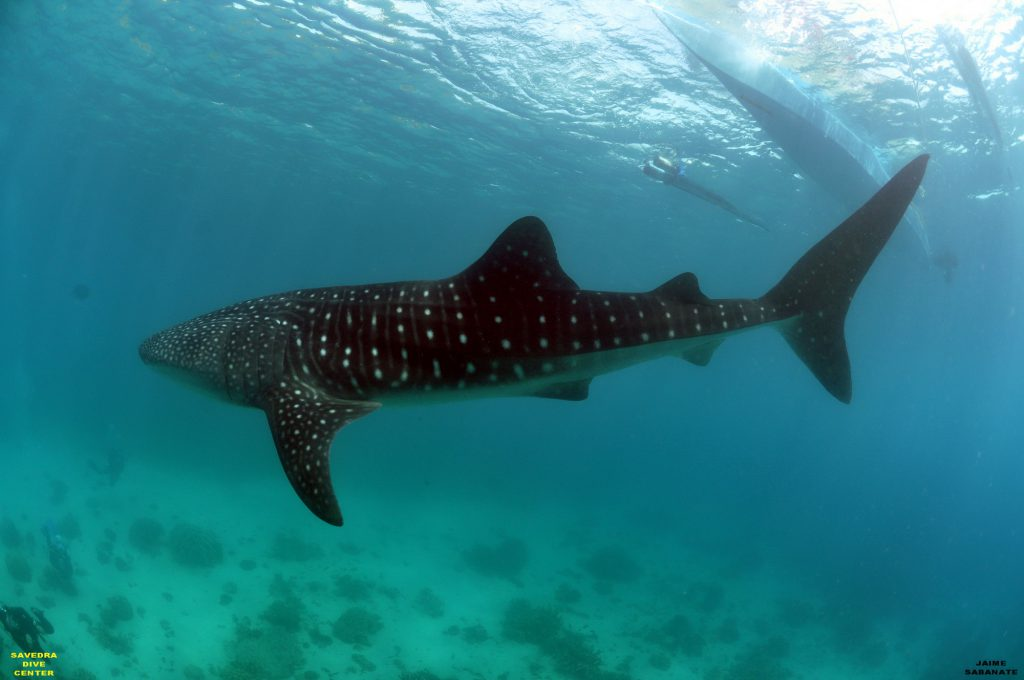 Whale shark in Moalboal